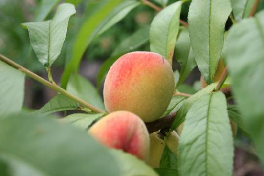 Top story 5d49964f9ce3bf010891 1 1 1 peaches