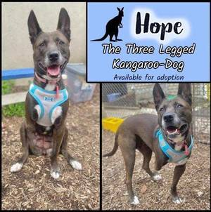 Hope - The Three Legged Dog is Looking for a Forever Home