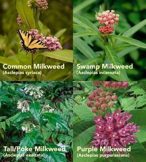 The Madison Environmental Commission is Offering Free Milkweed Plants to Residents