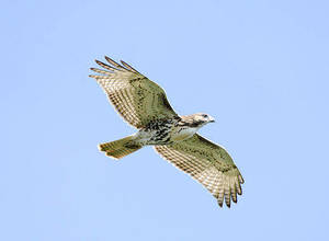 Hawks Overhead!