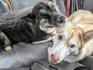 Adopt Us! Husky Sisters Ready For Their New Home