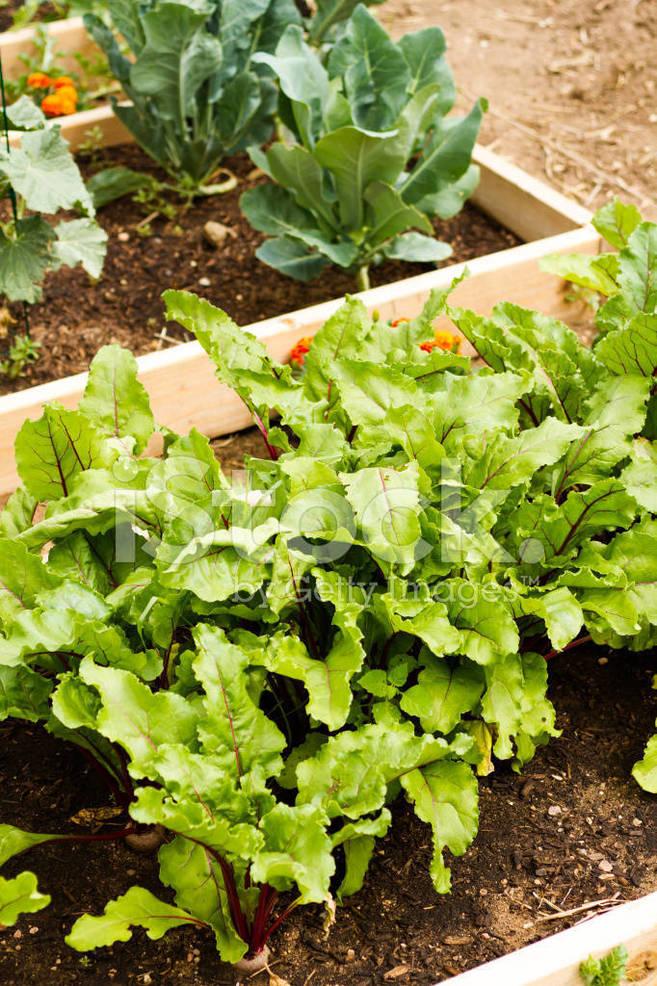 26508007-vegetable-garden.jpg