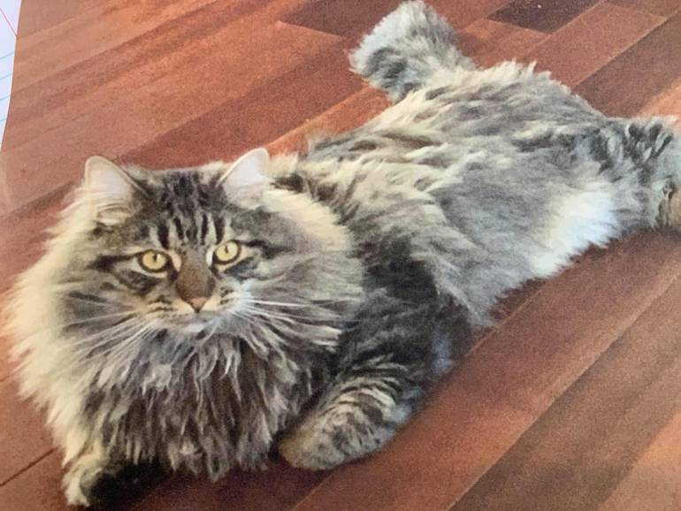 Lost Pet: Have you seen me? Lost Cat Near East Lawn Drive & Route 34 Holmdel
