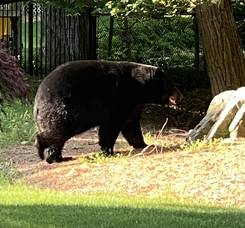 Black Bear Sightings: What Montville Residents Should Know