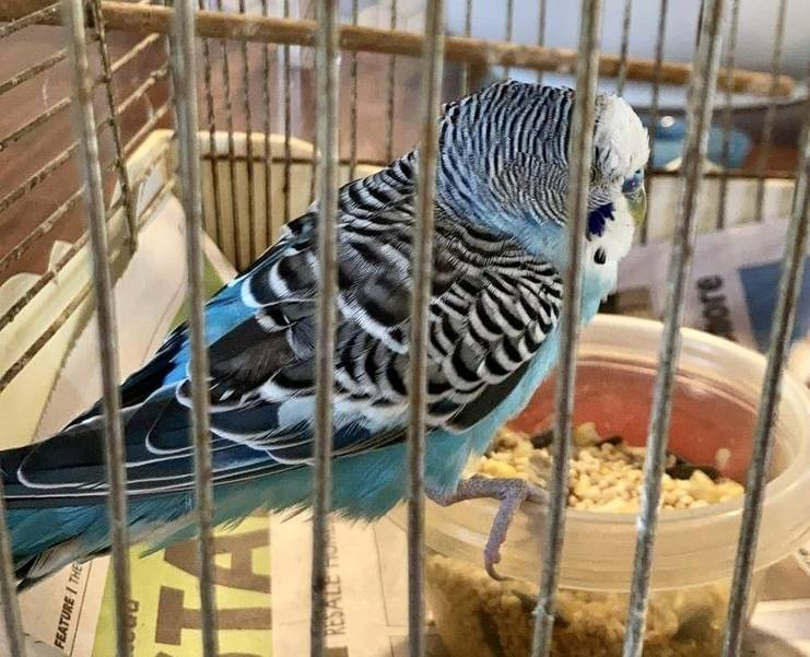 Found in Warren: Do You Know This Parakeet?