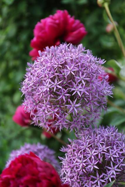 Top story 99b8f37f719b34ca60bb allium globemaster photo credit longfield gardens 300dpi