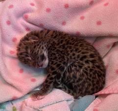 Carousel image 7c78473cc2dd422ce33d amur leopard baby 1