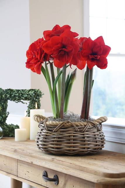 Top story 3ccc00dc8a08e685fead amaryllis double king 014682 photo credit longfield gardens 1