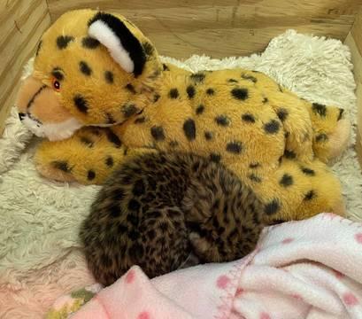 Top story 7e1a40fd667da9878c93 amur leopard baby 2
