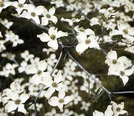 Carousel image 0f9a211641f0a7d5d027 arbor day flowering dogwood  credit usda