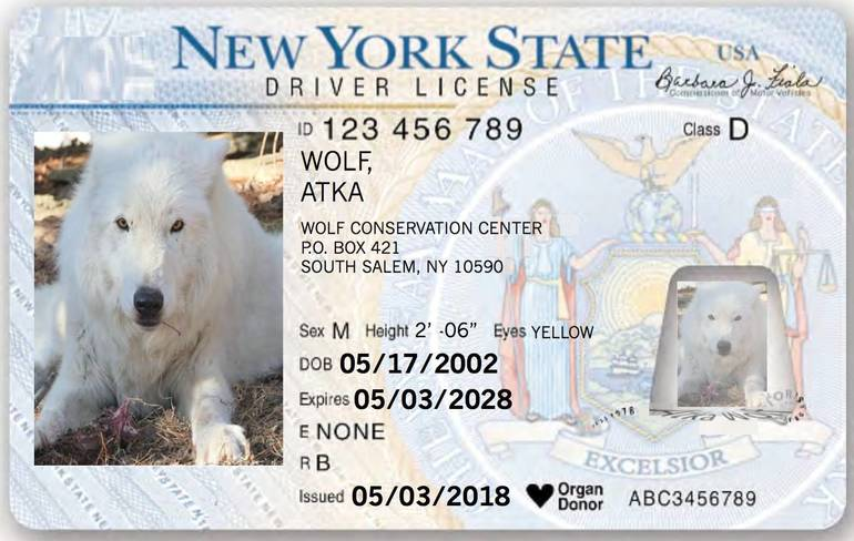 Atka Wolf ID.jpg