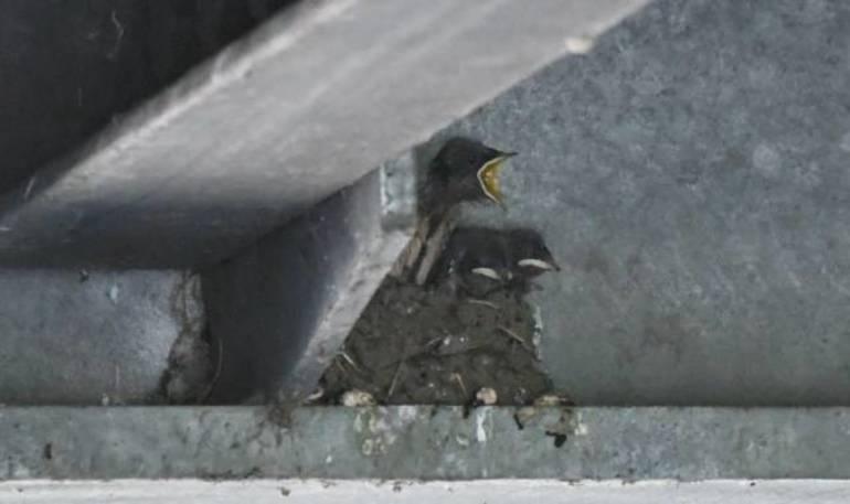 Barn swallow chicks.jpeg
