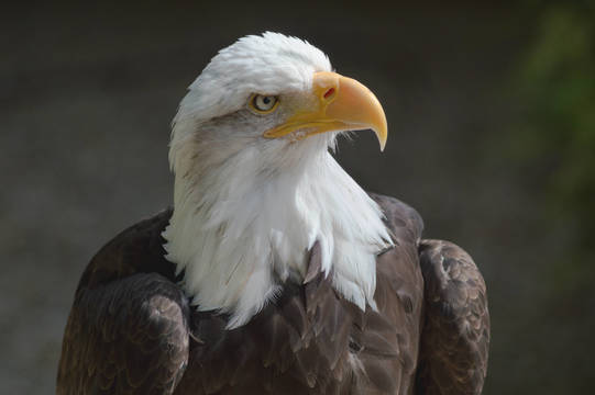 Top story 7896d39b0e9cfbeee472 bald eagle at the hawk conservancy trust 2 2