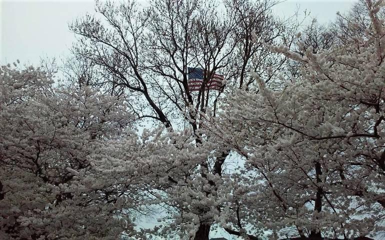 belmarcherrytrees2019.jpg