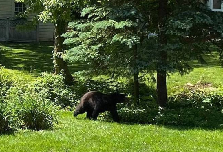 Bear on Orchard Street in Cranford on June 9 by Andrea Yucisin for 365CranfordWestfieldNJ.png