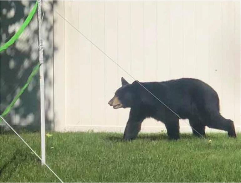 Fanwood Bear