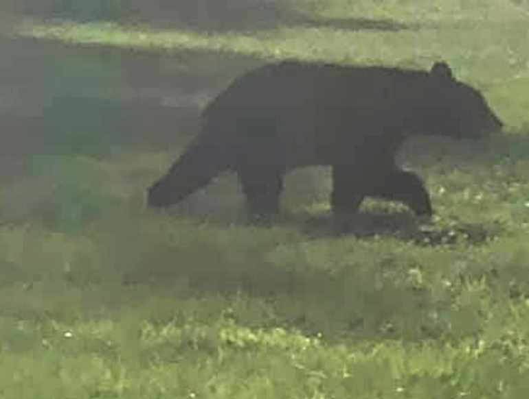 Bear in Fanwood.png