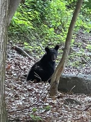 Black Bear 'Marc' Reported Seen in Hawthorne