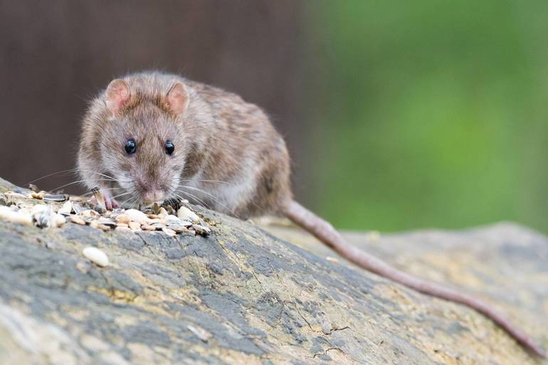 New Problem in Old Roxbury Development: Rats Running Rampant