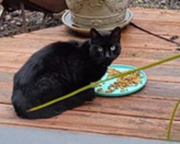Black Cat Found in Westfield