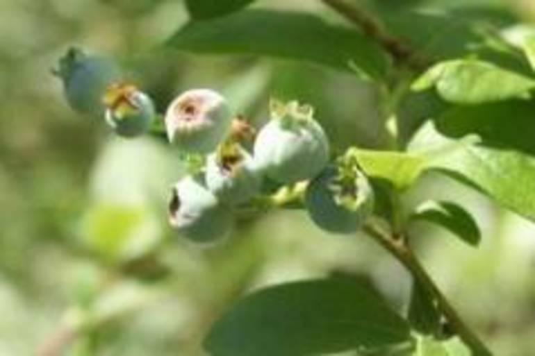 Blueberries Annotation 2020-07-03 091235.jpg