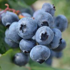 blueberries grow  in NJ