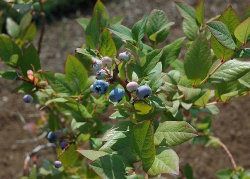 Top story 255b626aa816841f2d7e blueberries 1 photo credit melinda myers llc