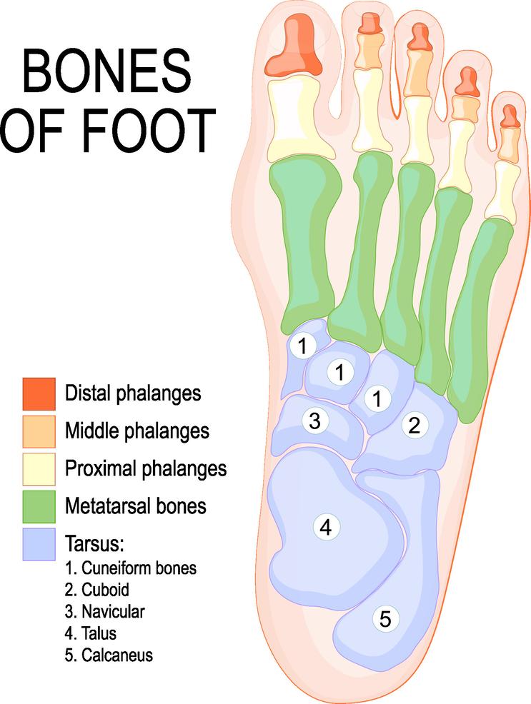 Bones of Foot@3x.png