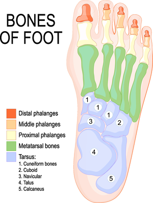 Carousel image cb62a22a15ca8e97088a bones of foot 3x