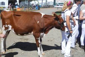 Carousel image 2c543cf3b131c4415ff4 brown cow 13
