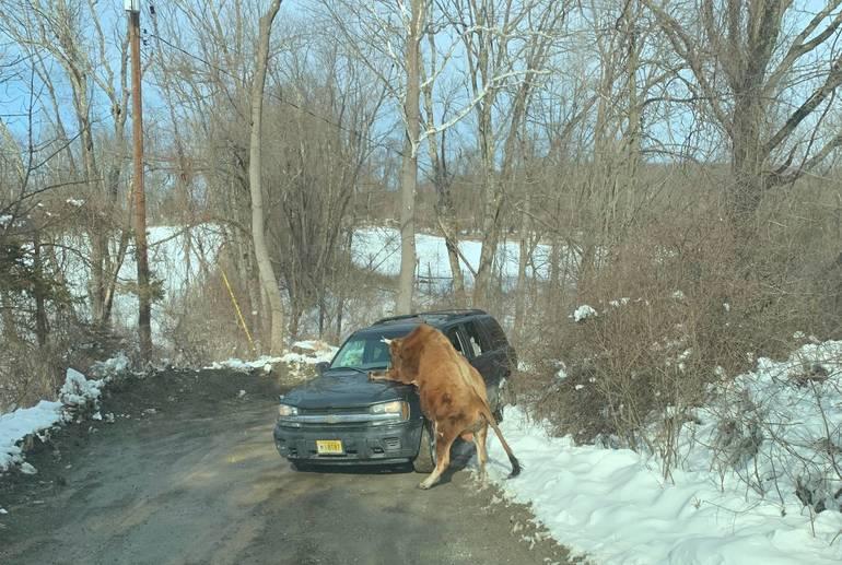 bull attack.jpeg