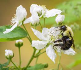 Carousel image c872725654e914953ba1 bumble bee on wild blackberry