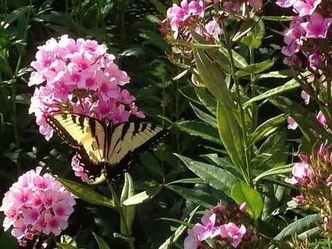 Top_story_3e9369b192f16d5fb765_butterflybuckgarden