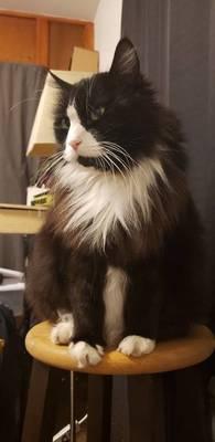 Owner Seeks Help for Lost Cat in Kenilworth