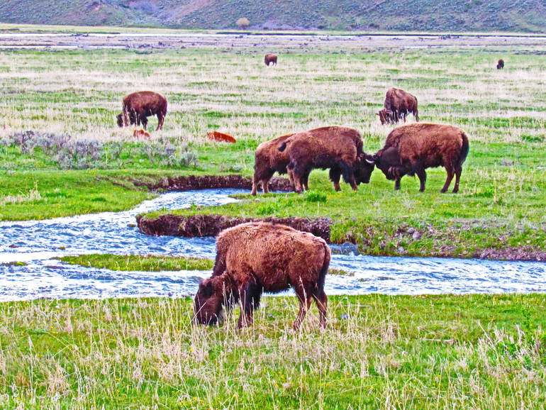 CCM.Bison at Yellowstone.JPG