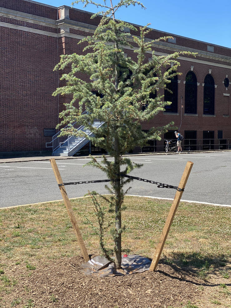 Delayed by COVID 19, Cedar of Lebanon Proudly Planted at Hawthorne High School by Shade Tree Commission