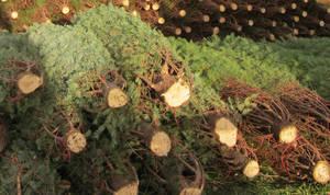 Carousel_image_46c08f7533ce75124ebb_christmas_tree_sale