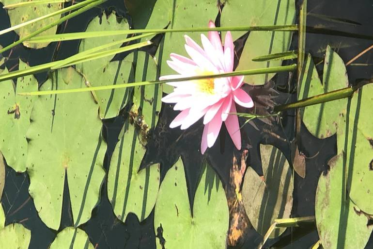 Cloverdale lilies 4.JPG