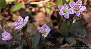 Pfeiffer Nature Center Offers Springtime Flowers Hike at Lillibridge