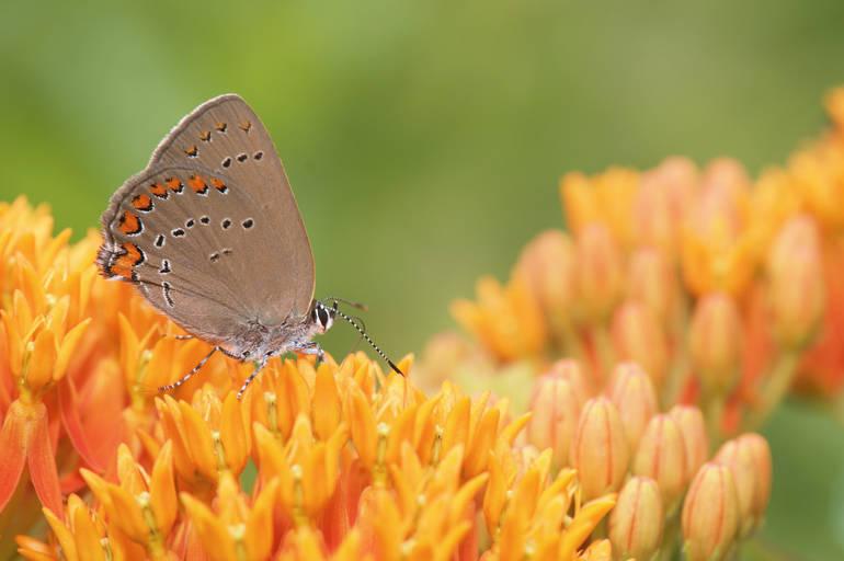 Coral hairstreak butterfly - Bill Lynch.jpg
