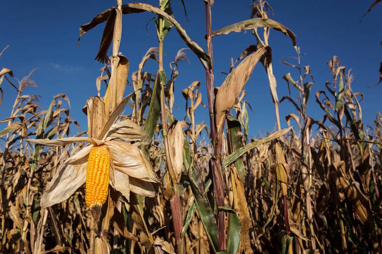 corn-field.jpg