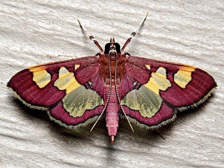 Colomychus talis by Ken Childs.jpg