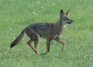 Carousel image 096c0532f41f75dac966 coyote