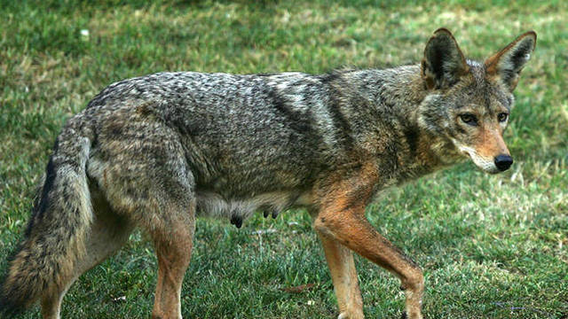 Top story aebce3a2553d158d50c8 coyote713