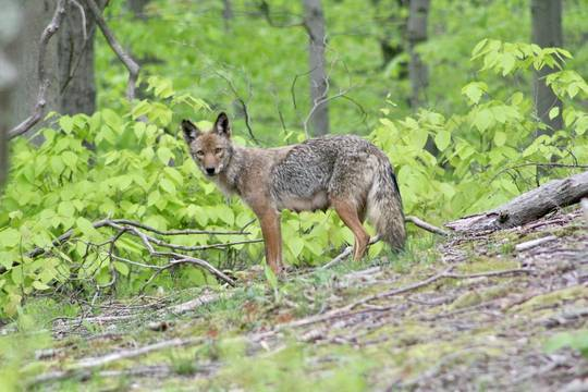Top story bf69a86a77a4074a2669 coyote