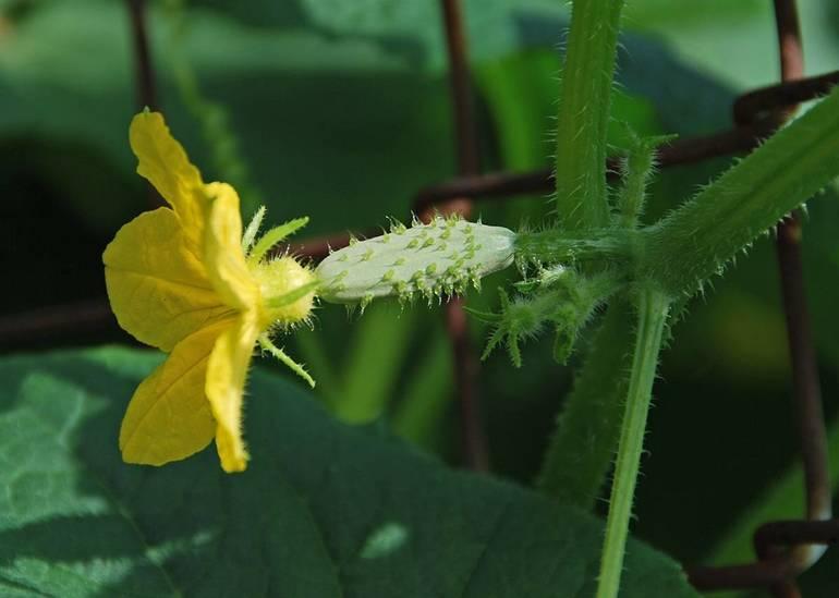 Best crop abcc0817dd00206b0615 cucumber   1