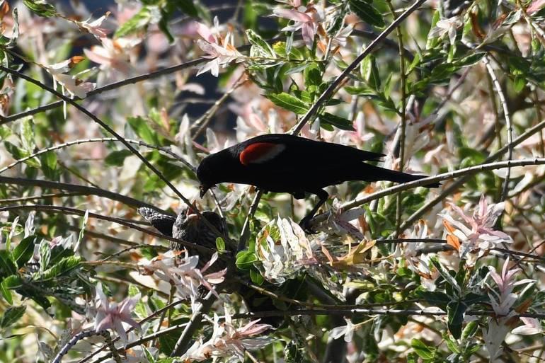 Daddy red-winged blackbird feeding babies.jpeg