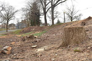 What's Next for Westfield's 'Daffodil Hill' After Tree Clearing?
