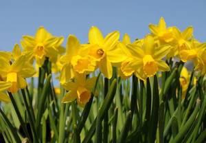Carousel image 75c598de1718fb5f66e0 daffodils