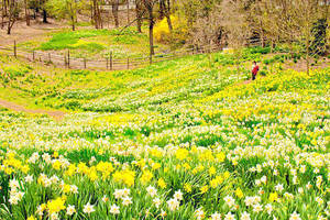 Carousel image cdbba605734ffa4d33e1 daffodil field